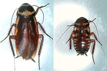 ゴキブリの画像 p1_5