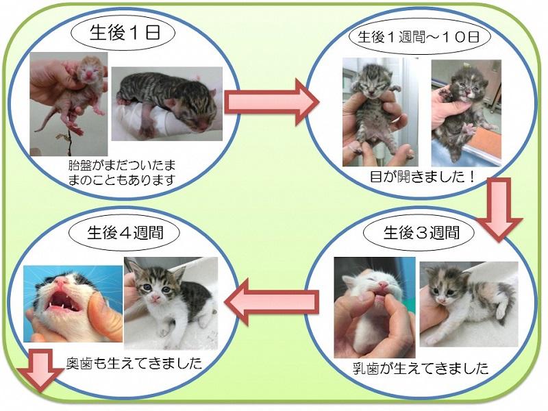 過程 猫 成長
