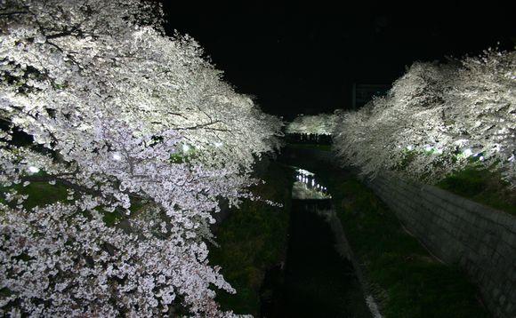 桜がライトアップされている風景